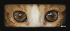 the eyes of cat (Sam Petar) Tags: eye cat cute animale nikon nature iraq baghdad photograph p510 photoshop lightroom