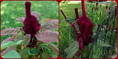 ALIEN PLANT LIFE AND FENCE (Visual Images1 (Thanks for 4 million views)) Tags: plant strange walk diptych
