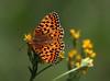 Mormon Fritillary (Speyeria mormonia) (Ron Wolf) Tags: lepidoptera mormonfritillary nationalpark nymphalidae speyeriamormonia tuolumnemeadows yosemitenationalpark butterfly insect nature wildlife california