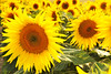 Gold from the field (Vee living life to the full) Tags: shootaboot 1 2016 hitchin lavender flowers yellow gold petals seeds sunflower nikond300