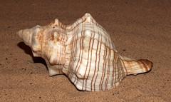 Trapezium horse conch (Pleuroploca trapezium) (shadowshador) Tags: trapezium horse conch pleuroploca neomura eukaryota opisthokonta holozoa filozoa animalia lophotrochozoa mollusca conchifera gastropoda gastropod gastropods orthogastropoda orthogastropod orthogastropods neogastropoda neogastropod neogastropods buccinoidea fasciolariidae fasciolariinae conchology malacology invertebrate invertebrates taxonomy scientific classification biology sea snail snails shell shells sand sandy beach wildlife life