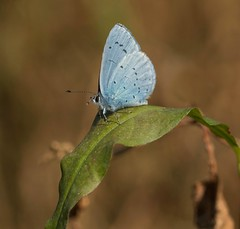 Holly Blue (SarahW66) Tags: butterflies butterfly insect natural nature blue wildlife surreywildlife small canon80d sigma105mm macrophotography macro upclose closeup