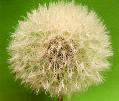 Dandelion on Green (Stanley Zimny (Thank You for 26 Million views)) Tags: green flower garden botanical dandelion