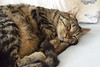 DSC_0609 (MaurizioBerti75) Tags: pace relax letto bed nikon d7100 dorme sleep dormire tenero puppy cucciolo amorous tender cat tigrato tigre tiger striped gattino morbido soft