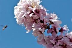 DSC_0049 : My Garden Spring 2017 (aciamax) Tags: aciamax mygarden flowers blossom bulbs hellebors spax fressias melbourne victoria australia roses camellias daffodils