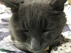 Bonkers Half Asleep (sjrankin) Tags: japan hokkaido yubari blanket bedroom futon closeup bonkers cat animal edited 5august2017