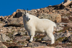 Mountain Goat surveying from on high
