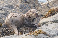Otter at Baltasound, Unst (Shetland) (Renate van den Boom) Tags: 08augustus 2017 europa grootbrittannië jaar maand otter renatevandenboom shetland unst zoogdieren
