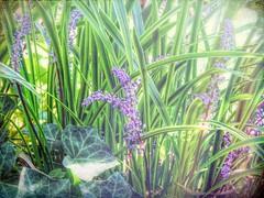 Fast Approach of Fall (clarkcg photography) Tags: flowers grass vine green ivy purple garden plants flora fridayflora 7dwf