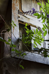 Window I (Milena Galizzi) Tags: abandoned forgotten house re red villa de vecchi noble window ivy flora architecture infested ghost