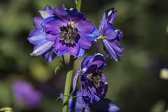 Malva y negra (seguicollar) Tags: flower flores flor moradas negras malvas bokeh green planta vegetación virginiaseguí nikond7200 jardínbotánicomadrid