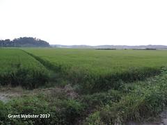 Dryophytes suweonensis habitat (All Environmental and Conservation Services) Tags: dryophytes hyla hylidae hylinae arboranae south korea tree frog paju dmz suweonensis suwon suweon rice paddy endangered