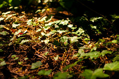 Ivy (Octav Vladu) Tags: ivy leaves soil forest light magic fantasy plants leaf natural green garden