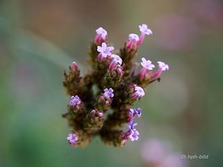 Wildblümchen im Garten