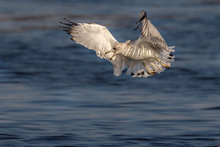 Gulls can hover too