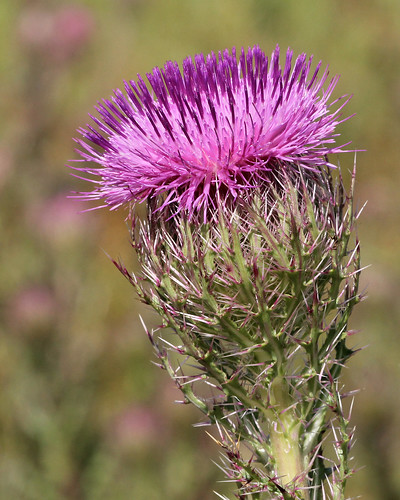 Purple Thistle (Cirsium horridulum)