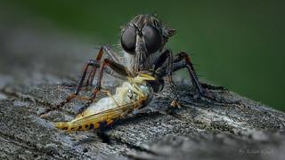 Raubfliege (Asilidae) mit erbeuteter Schwebfliege