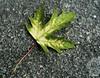Folla (Franco D´Albao) Tags: francodalbao dalbao lumix folla leaf hoja piedra stone arce canadá muerta dead