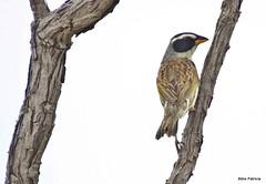 Coryphaspiza melanotis - tico-tico-de-máscara-negra2 (Conexão Selvagem) Tags: observaçãodeaves serra canastra parque nacional cerrado aves bird wildlife galito rapina gavião nature natureza do avesdobrasil