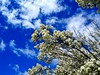 #spring #canberra #cbr #trees #flowers #sky #clouds (MickyStix) Tags: spring sky cbr flowers canberra clouds trees