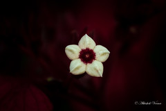 Red Velvet (abhishek.verma55) Tags: flower white red bokeh contrast lalbagh petals petal plant photography ©abhishekverma bangalore lalbagbotanicalgarden flickr beautiful art canon550d canon70200f4is nature beautifulnature beauty colourful colour color dof depthoffield delicate famousplaces famousgarden garden gardencity lalbag natureisbeautiful natureatitsbest outdoor outdoors park shallowdepthoffield