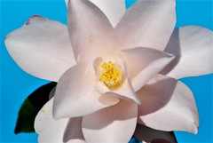 DSC_0028 : My Garden Spring 2017 (aciamax) Tags: aciamax mygarden flowers blossom bulbs hellebors spax fressias melbourne victoria australia roses camellias daffodils