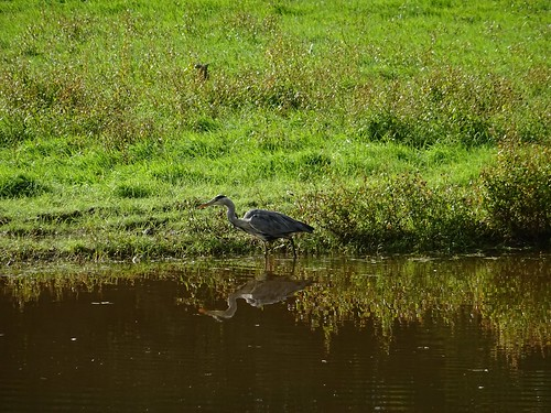 Queen's Marsh feeding heron 1