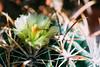 20150814-01837.jpg (tristanloper) Tags: macro tristanloper creativecommons cactus flower ferocactus ferocactusviridescens sandiego sandiegoca california sandiegocalifornia sandiegocounty thewest thesouthwest free