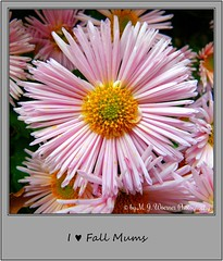 Chrysanthemum 06 (M.J.Woerner) Tags: november fallmums asteraceae chrysanths autumcolors postermums chrysanthemum autumflower