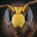 Hornet thumbnail