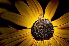 Sonnenberg Gardens & Mansion Historic Park ~ Canandaigua NY ~ Flower Bee