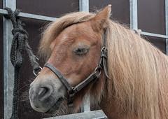Wemmel, Jaarmarkt 2017 #52 (foto_morgana) Tags: animals belgique belgium belgië horse horsehead jaarmarkt2017 mammalia mammals mammifères outdoor säugetiere wemmel zoogdieren