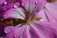 Efter regn (In Explore) (Steenjep) Tags: macro flower closeup blomst makro drop dråbe vand water