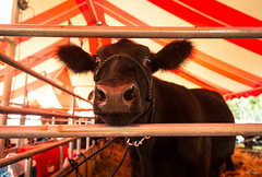 curious angus (Jen MacNeill) Tags: fair angus cow cattle steer denver pa tent red striped curious