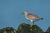 Knot (Kees499  Nature pics) Tags: kanoet keesmolenaar d500 nikon zeeland calidriscanutus brouwersdam holland shorebird water explore explored myexplored