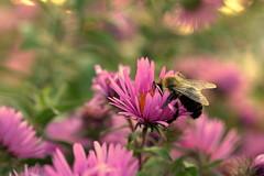 extended summer (joy.jordan) Tags: flowers bee light texture bokeh sunset nature