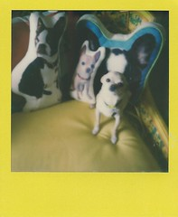 simon and pillows (EllenJo) Tags: sx70 colorframe instantfilm september2017 ellenjo instant polaroid simon chihuahua ivan floyd pillows pillowpets custompillows orderedfrometsy cute littledog theimpossible impossible600 600filmwithndfilter 600insx70 littledoglaughedstories bostonterrierpillows little