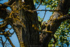 grey-headed woodpecker (TomArt96) Tags: baum fotografie grauspecht himmel natur sitzend tier tiere totholz vogel walnuss tree pho photography woodpecker sky nature bird animal sitting