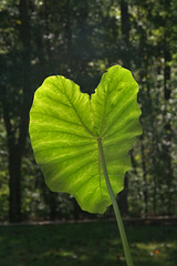 Elephant Ear In The Early Morning Sun (redhorse5.0) Tags: elephantear plant nature garden leaf greenleaf sonya850 redhorse50 sunshine backlight
