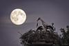 Vollmondfütterung (CPbild) Tags: storch mond störche vollmond fullmoon animals storks stork tiere moon nest cpbild christophplünnecke nacht night