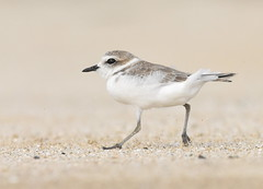 Snowy Plover (Christopher Lindsey) Tags: birds birding snowyplover california shorebird beach running halfmoonbay sanmateocounty