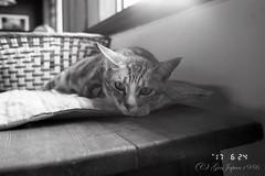 ながせ陶房 ネコ (GenJapan1986) Tags: 2017 konicabigmini orientalnewseagull400 ネコ フィルム 動物 山寺焼ながせ陶房 山形市 山形県 白黒 cat animal japan 日本 yamagata