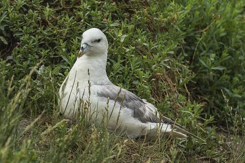 11shearwaterspetrels 3northernfulmar birds england greatbritain europe