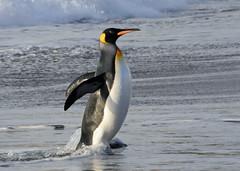 A king penguin emerging from the sea (takashimuramatsu) Tags: aptenodytespatagonicus kingpenguin penguin south georgia antarctica cruise lindblad expeditions nikon d300 キングペンギン
