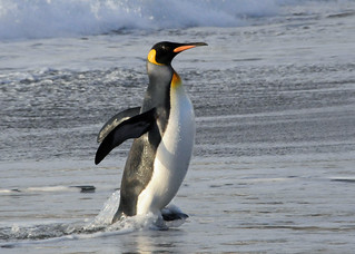 A king penguin emerging from the sea