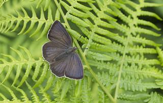 Purple Hairstreak (Favonius Quercus)