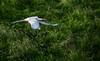 Islàndia (Foleta) Tags: islàndia ocell charrán ártico