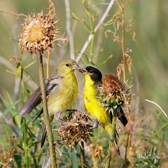 "Feed Me (dcstep) Tags: bird finch goldfinch lessergoldfinch feeding aurora colorado unitedstates us n7a1028dxo canon5dmkiv ef500mmf4lisii allrightsreserved copyright2017davidcstephens dxoopticspro114 ""cherry creek state park"""