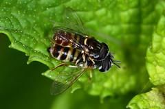 Piggy back - HFDF! (Tam & Sam) Tags: fly nikon macro hfdf summer july 2017 freginals catalonia spain insect bytam hoverfly