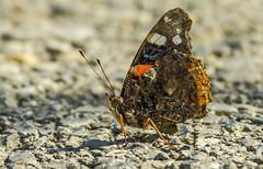Admiral - Vanessa atalanta (Bojan Žavcer) Tags: vanessaatalanta admiral vanessa atalanta closeup macro animal insect wildlife nature butterfly canoneos7dmarkii ef600mmf4lisusm